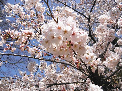 福岡城跡(舞鶴公園)の桜