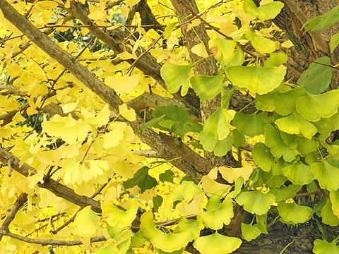 京都の黄葉